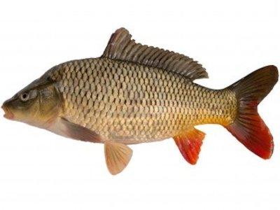 Carp for Edible freshwater fish