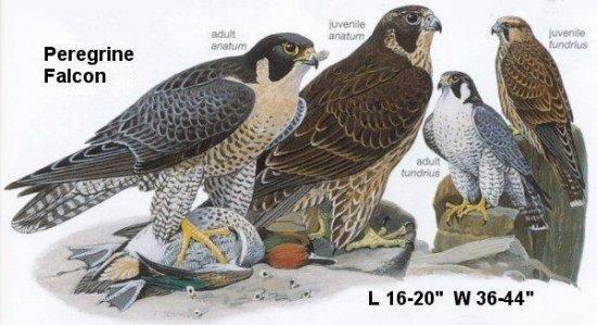 Oregon Birds Peregrine Falcon