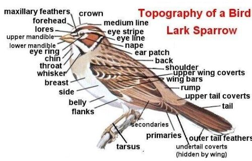 Bird Body Part Names. Identifying Birds. Knowing the names of the parts of a