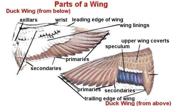 Bird Wing Part Names. Identifying Birds. Knowing the names of the parts of a