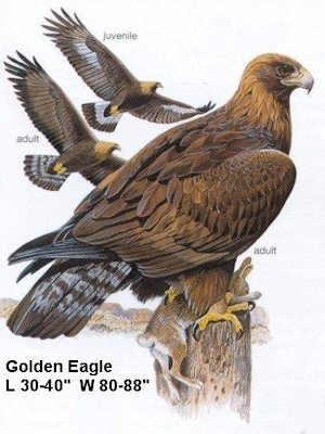 golden eagle pictures. Golden Eagle