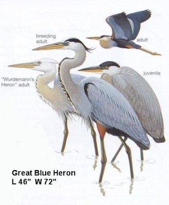 oregon birds great blue heron