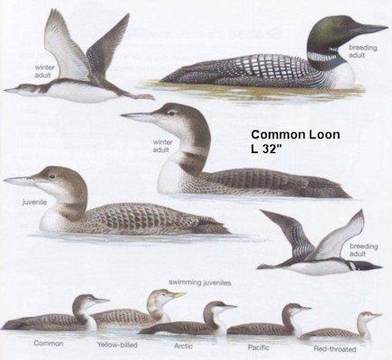 common loon range. Common Loon