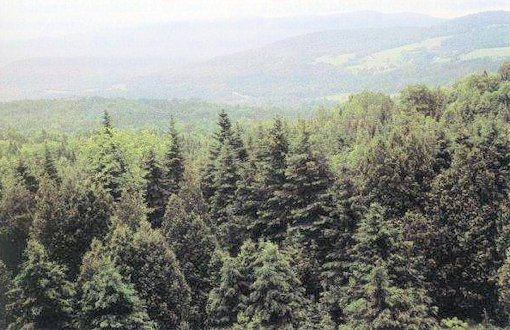 Opinions on coniferous