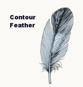 Contour Bird Feathers