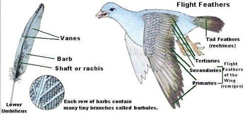 Flight Feathers