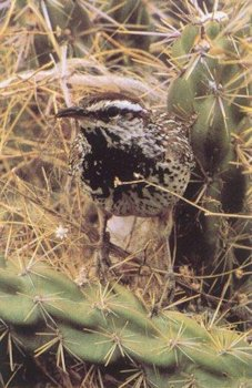 Cactus Wren Habitat