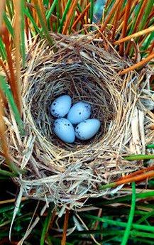Ins Nest, Näscht oder Nescht