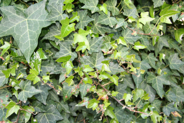 ivy flower: