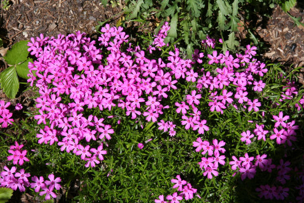 Phlox Ground Cover Plants The Image Kid