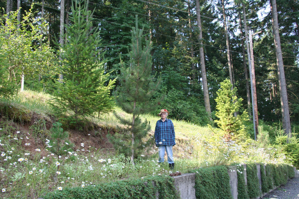Afghan pine pinus eldarica s native to the caucasus mountains of
