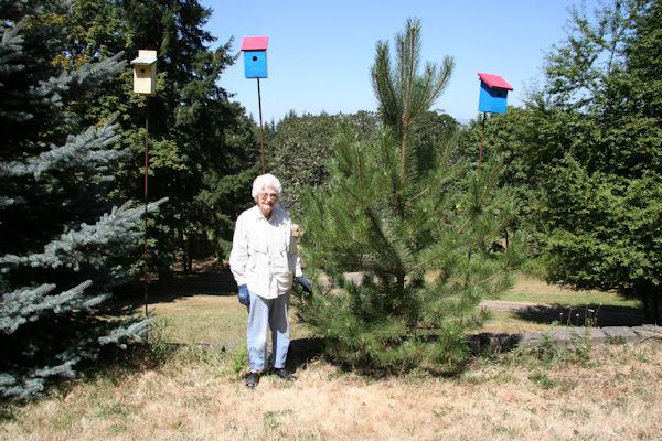Austrian black pine at our pleasant hill oregon home