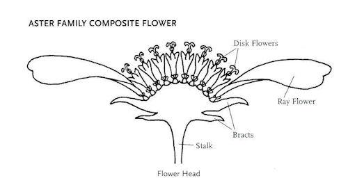 La flor, un diseño inteligente Flower-part-10