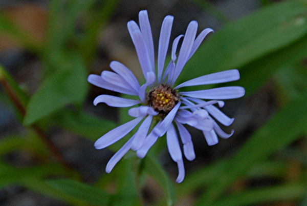 Easyliving Native Perennial Wildflowers - Aster Novae-angliae New