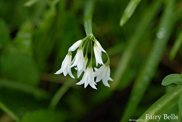 A guide to lilies pollen nation fairy bell flowers fairy bells are aptly name for the charming small white flowers that hang downwards mightylinksfo