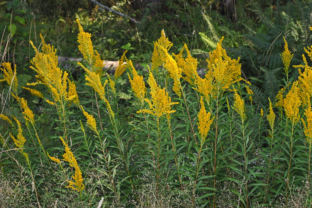 Wildflowers found in oregon canada goldenrod return canada goldenrod