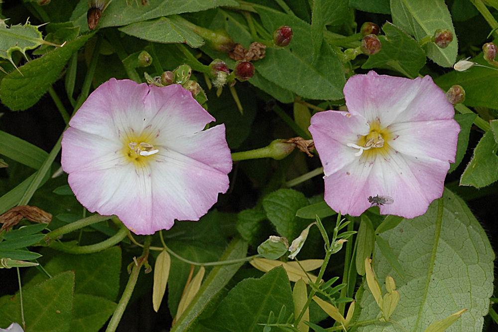 Wildflowers found in oregon western morning glory return
