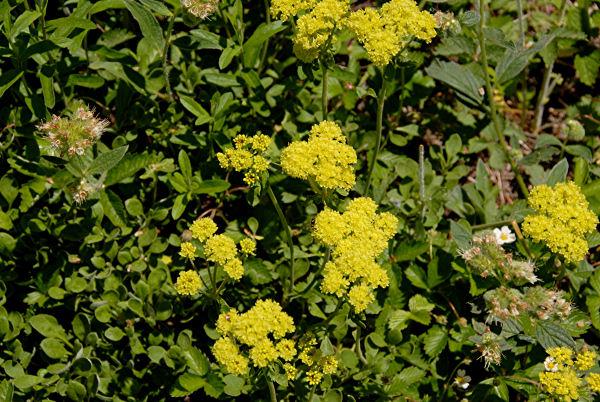 Wildflowers found in oregon sulphur flower sulphur flower mightylinksfo